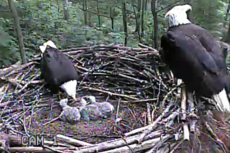 Eagle Family in the nest