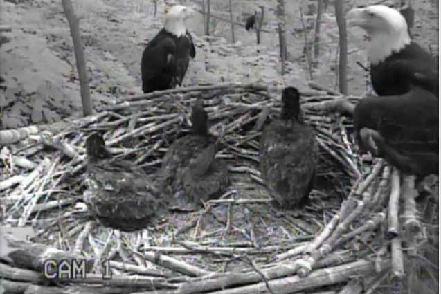 Indy & Frank with their eaglets