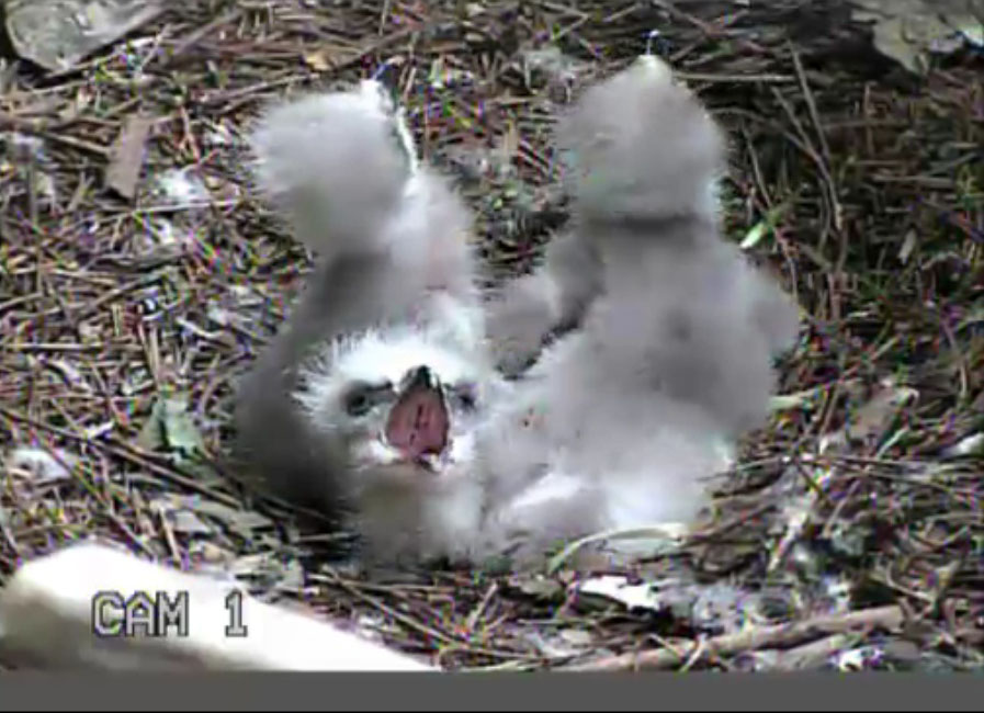 3 Eaglets in the nest