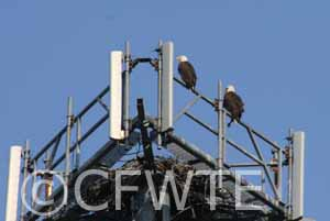 Eagles Nest in Cell Tower